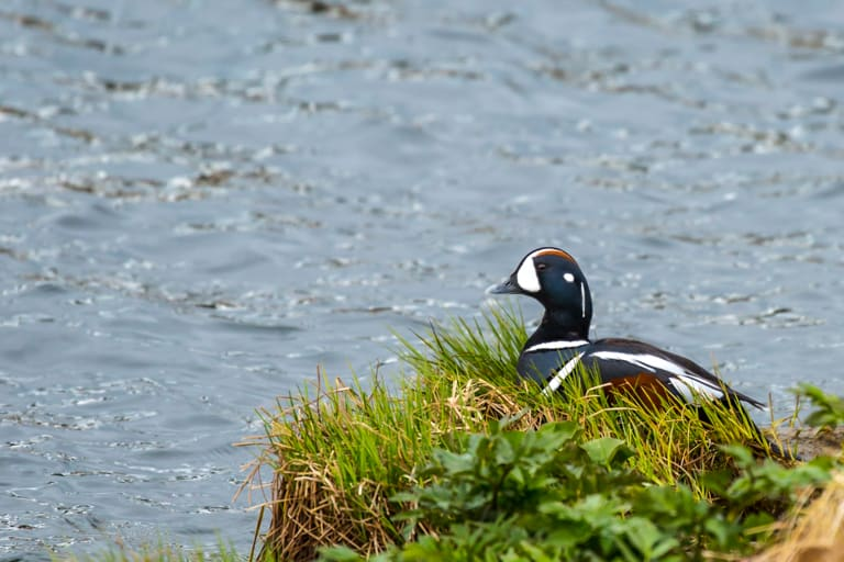 Birding by lake Mývatn